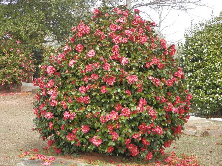 Massee Lane Gardens – Home of the American Camellia Society